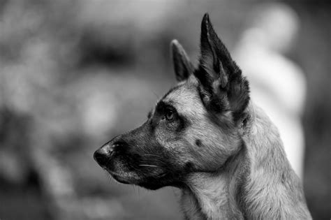black and white german shepherd black and white german shepherd wallpaper