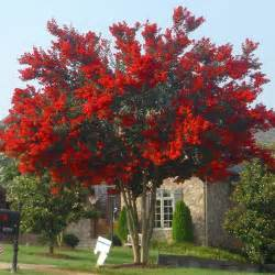 my published articles for viewshound a red crape myrtle