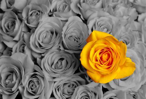 wallpaper grey roses yellow rose on grey background evershine walls
