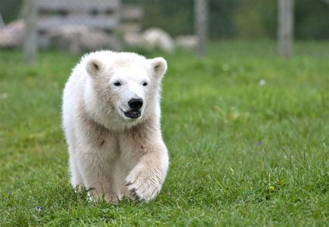 Bears Smile polar smile by janefox on deviantart