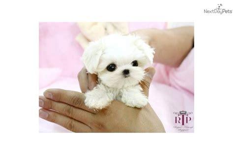 maltese puppies houston maltese puppy for sale near houston 0bac71db 3ad1