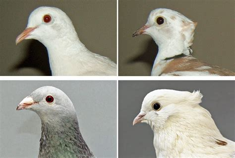 doves share pigeon gene for head crests unews