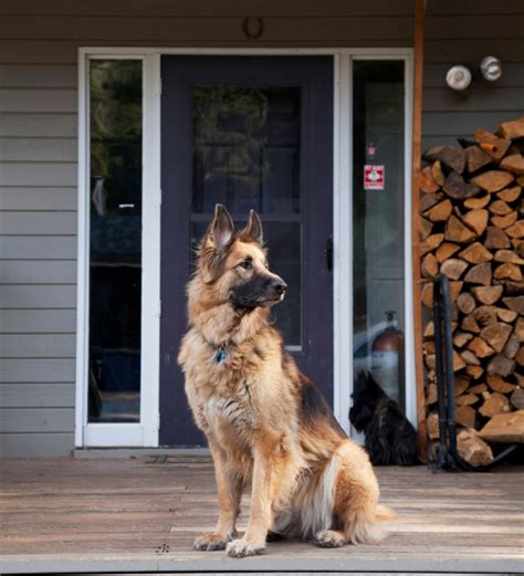 how to train your dog to guard your house how to train a dog to guard your house