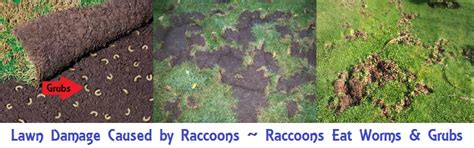 raccoon poop in backyard how to raccoon removal and control animal control guide