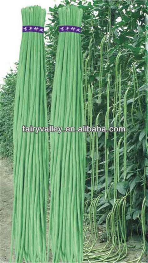 Harga Bibit Asparagus hasil tinggi panjang asparagus hijau biji kacang