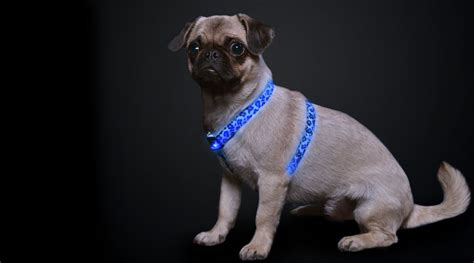 pug collar or harness products