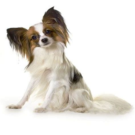dogs that stay puppies forever 13 cutest small dogs that stay small forever lifestyle9