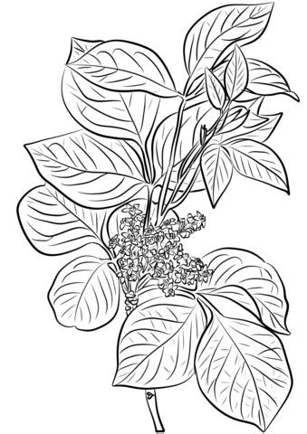 Poison Ivy (Rhus Toxicodendron) coloring page | Free