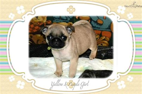 pugs for sale seattle wa pug for sale for 1 350 near seattle tacoma washington 391331c8 9821