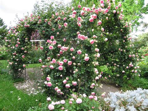 how to plant climbing roses climbing roses
