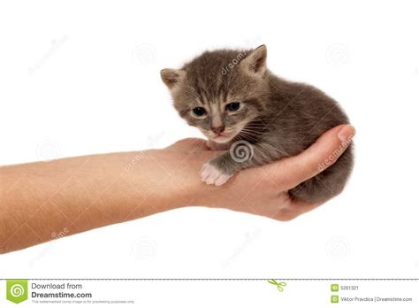 Small Cat In Hand Stock Image   Image: 5261321