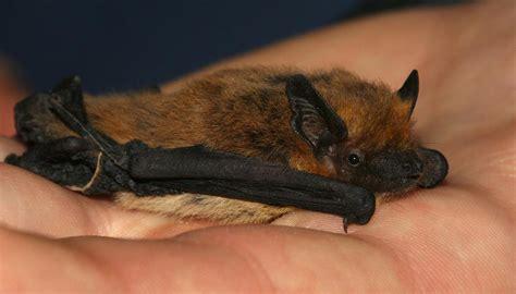 pipistrello le pipistrello domestico come si addestra