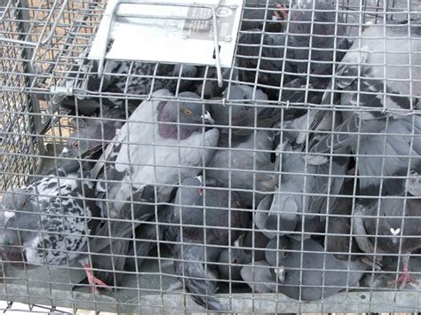 how to trap pigeons for pigeon pigeon removal allstate animal