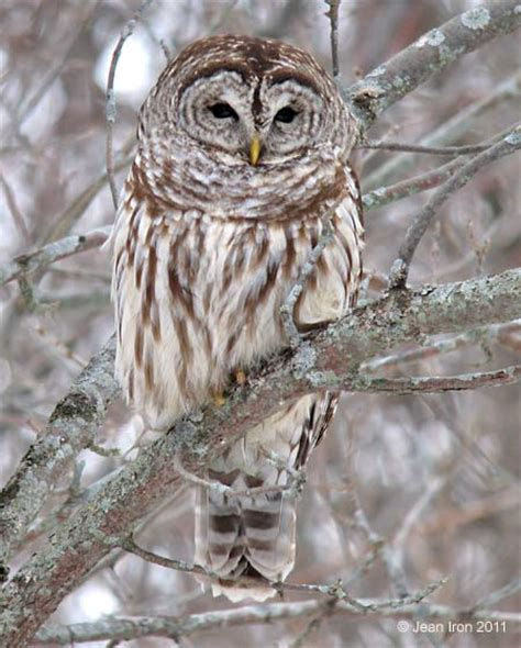 barred owl at cranberry marsh