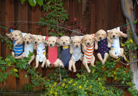breeders net golden retrievers clothes line golden retriever puppies by familyfunpack on deviantart