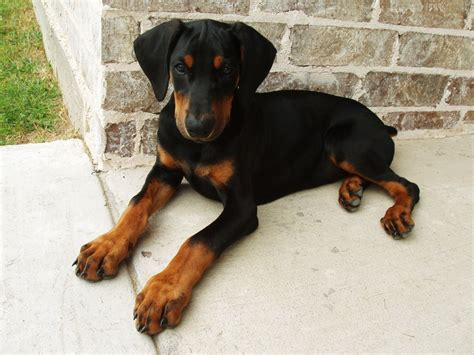 doberman puppy doberman puppies pictures iki rang