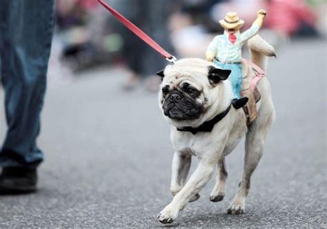 save a pug save a ride a pug pug