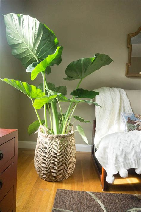 25 best ideas about large indoor plants on pinterest best 25 elephant ear plant ideas on pinterest elephant