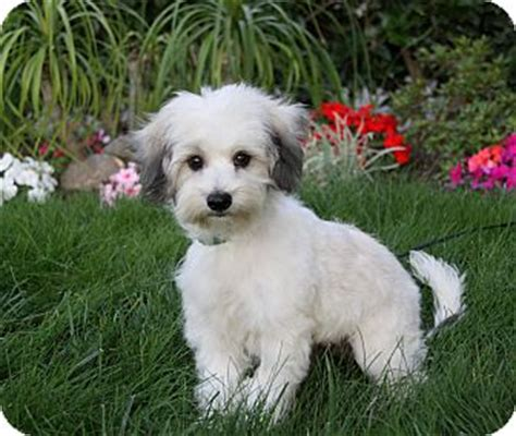 havanese miniature poodle mix adopted puppy newport ca havanese poodle miniature mix