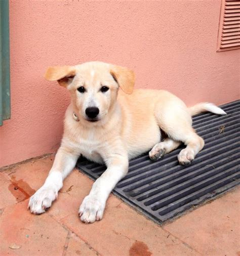 canaan puppies for sale pin canaan puppies for sale from quality breeders at pupsusacom on