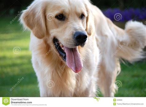 golden retriever heat golden retriever 3 royalty free stock image image 949666