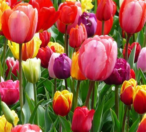 Jual Bibit Bunga Tulip jual umbi tulip mixed bibitbunga