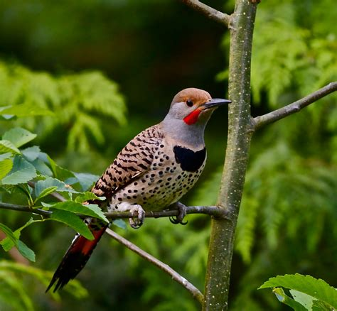 pictures of birds in alabama alabama state bird northern flicker