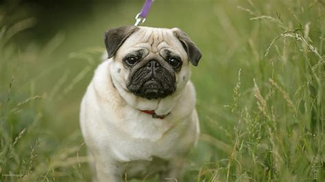 breeds similar to pugs meet the breed pug