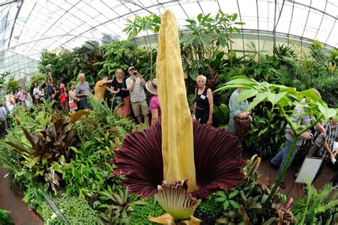 Corpse Flower A Hit In Melbourne Abc News Australian Corpse Flower Botanic Gardens