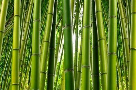 giardino bambu bamboo pianta piante da giardino caratteristiche della