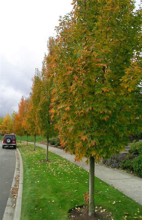 karpick maple tree tree profile for the karpick maple forest nursery inc