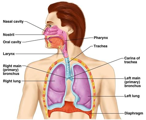 diagram of the respiratory system well label respiratory system organ anatomy