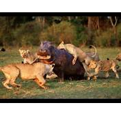 Documental 2014 HD Juego De Leones//Game Of Lion  YouTube