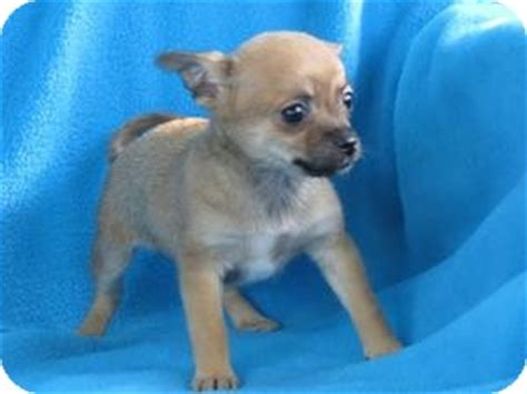 chihuahua puppies mn small rescue chihuahua rescue of mn breeds picture
