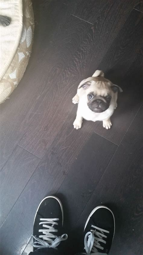 pugs for sale in glasgow pugs for sale glasgow lanarkshire pets4homes