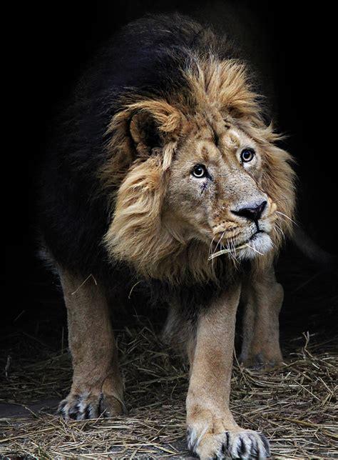 imagenes leon negro leones negros existen www pixshark com images
