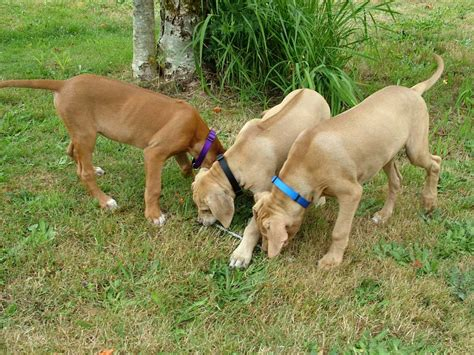 puppies in washington ridgeback puppies washington 360 686 1151
