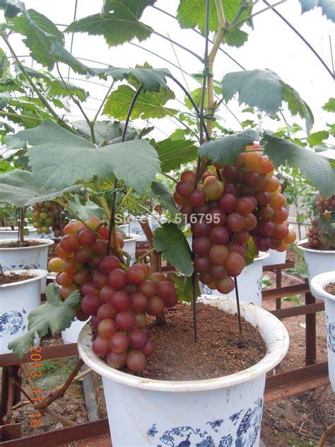 Bibit Nangkadak O bananeira em vaso da fruto pesquisa frut 237 feras