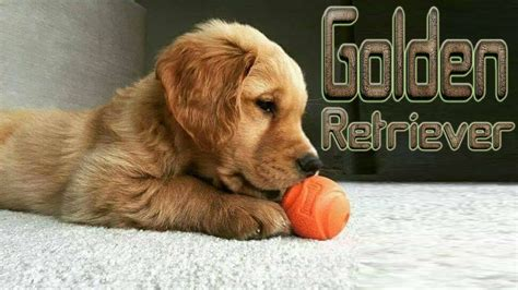 golden retriever guard not breed to be a guard we golden retrievers