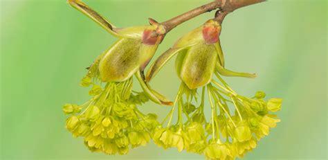 maple tree allergies maple box elder acer genus level details and allergy info pollen