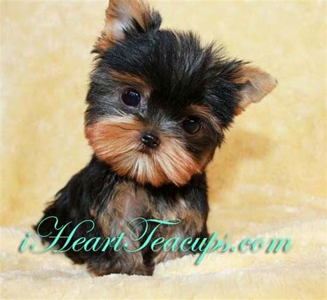 miniature yorkie grown micro teacup yorkie grown search cats dogs and more