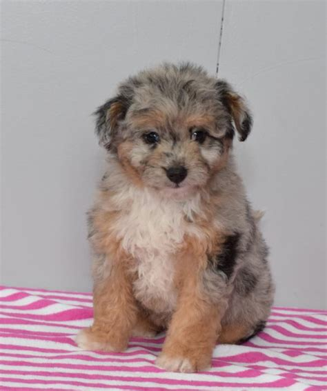 aussiedoodle puppies for sale ontario fluffy mini aussiedoodle pups craigspets