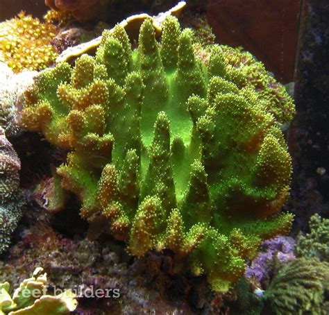 Green Devil?s Hand Lobophytum is the coolest leather coral we?ve seen in a long time Coral Reef