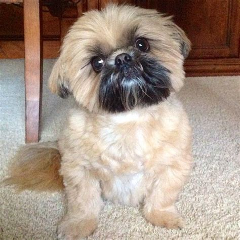 hypoallergenic shih tzu 144 best images about shih tzu on hypoallergenic breed pets and babies