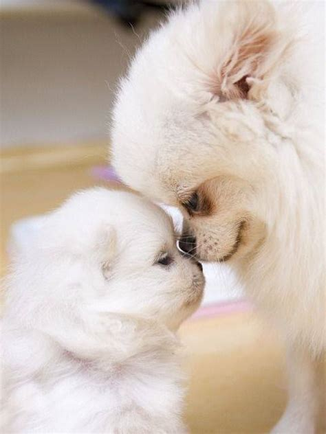 pomeranian babies pomeranian with baby image 2476304 by lauralai on favim