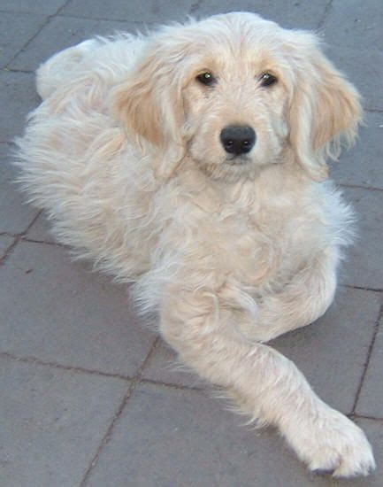 goldendoodle puppy fur labradoodle paw print on my