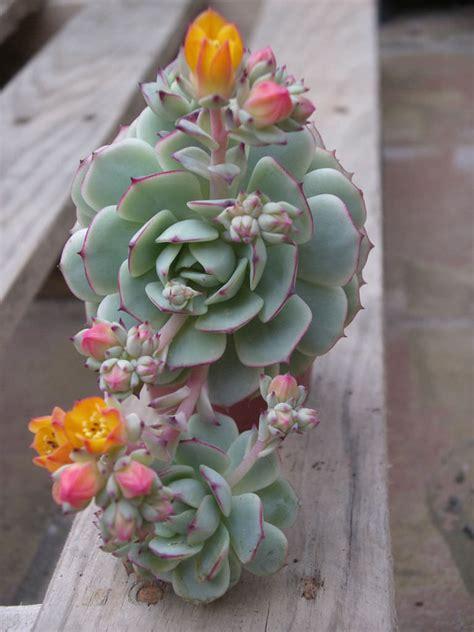 echeveria derenbergii painted lady world  succulents