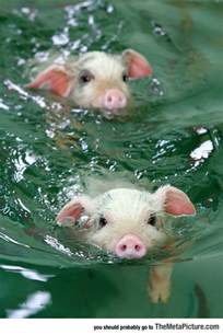 swimming pig meta picture