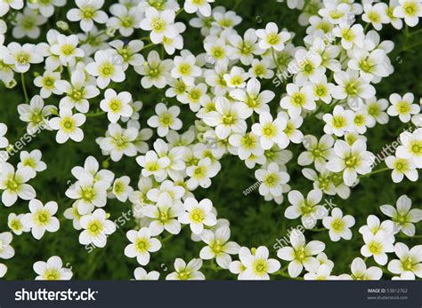 Flower White Top White Flowers Field Top View Stock Photo 53812762