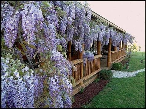 training wisteria vines to wall new style for 2016 2017